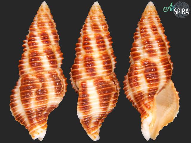 Turrilatirus craticulatus