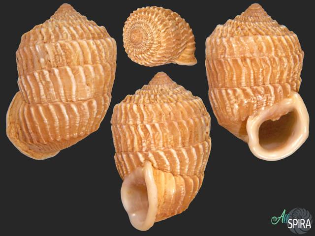 Cerion geophilus - NICE FORM