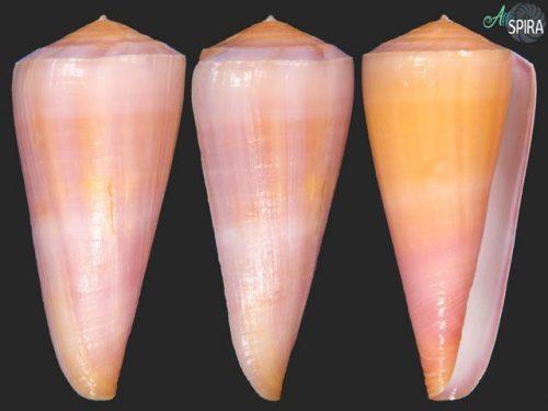 Conus kintoki