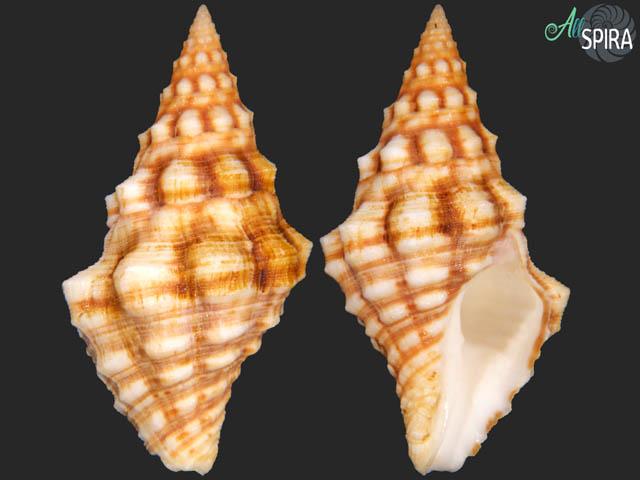 Leucozonia cerata