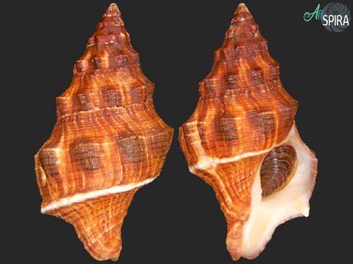 Leucozonia nassa