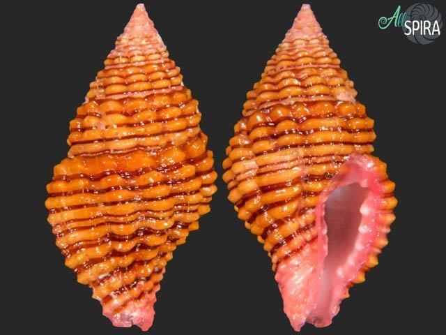Clivipollia pulchra