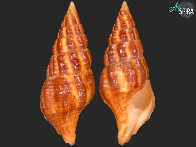 Turrilatirus nagasakiensis