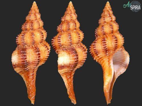 Fusolatirus balicasagensis