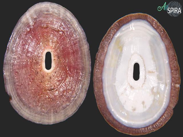 Fissurella pulchra