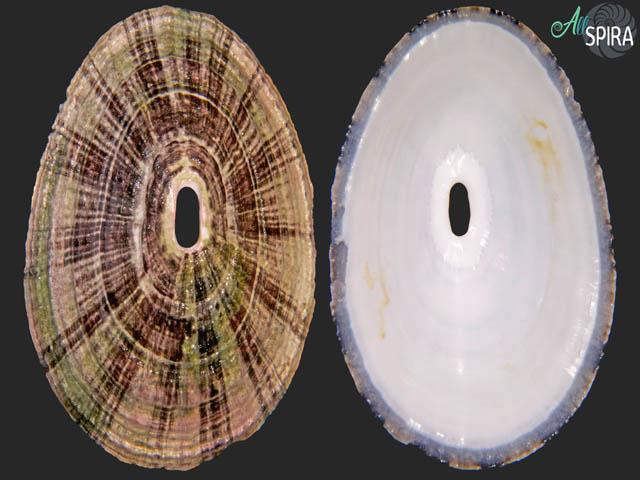 Fissurella picta picta