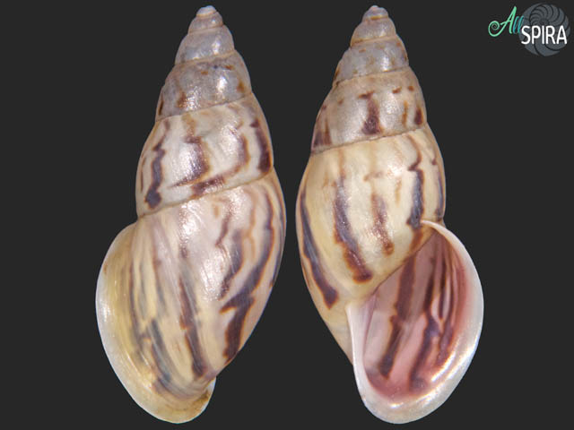 Drymaeus cf aequatorianus