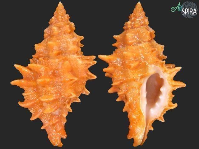 Muricopsis josei