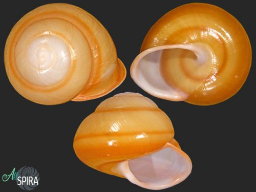 Calocochlia trisculpta