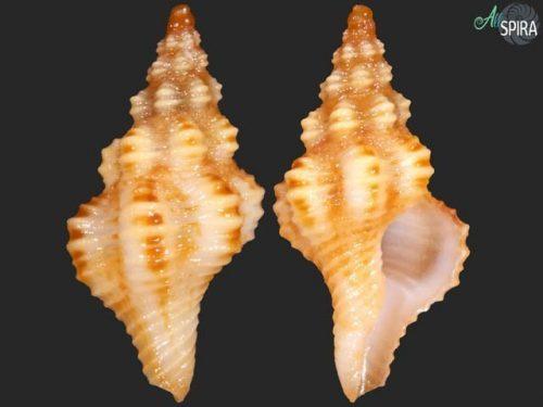 Fusinus sp