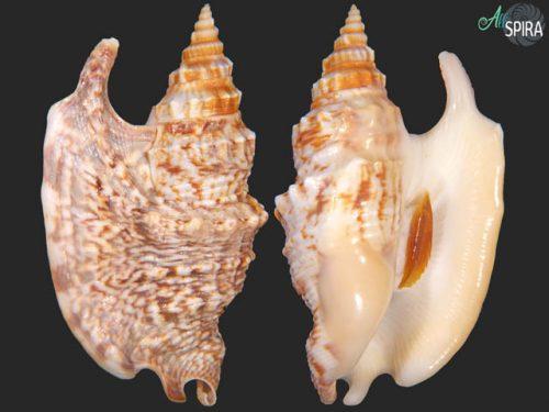Euprotomus iredalei
