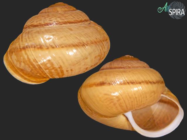 Arianta arbustorum