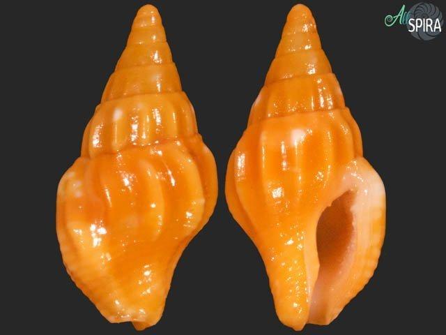 Anachis carloslirai