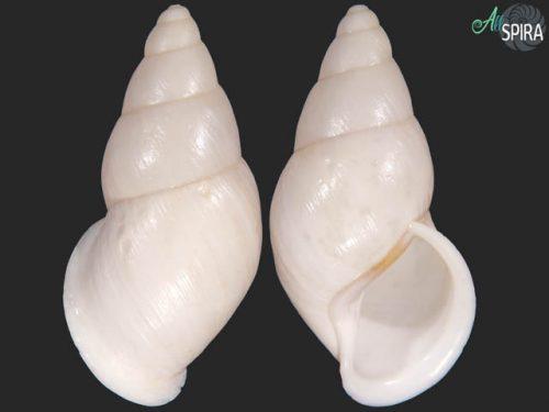 Chrysallis antonii