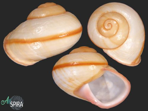 Trachystyla latitans