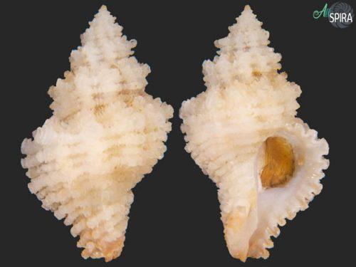 Hirtomurex squamosus