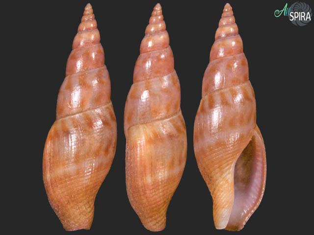 Cosmioconcha pergracilis - RARE, SUPERB