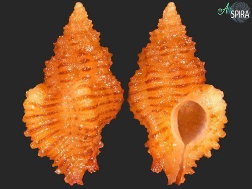 Favartia varimutabilis