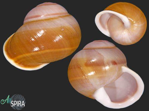Calocochlia valenciennesi