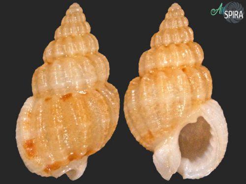 Nassarius albus
