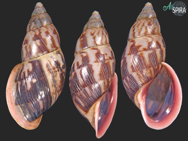 Drymaeus interpictus