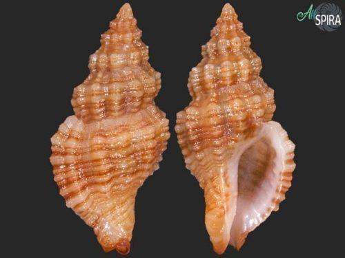 Ergalatax dattilioi