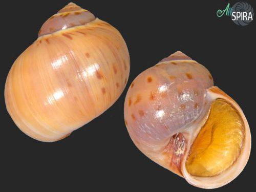 Euspira grossularia