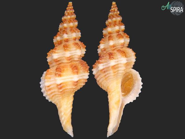 Fusinus pulchellus