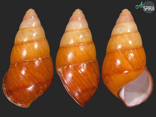 Hypselostyla subcarinata