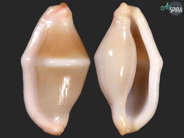 Cyphoma arturi