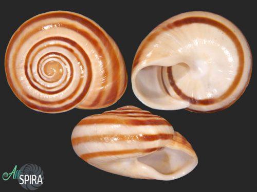 Lechatelieria lechatelieri