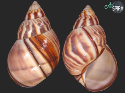 Orthalicus undulatus