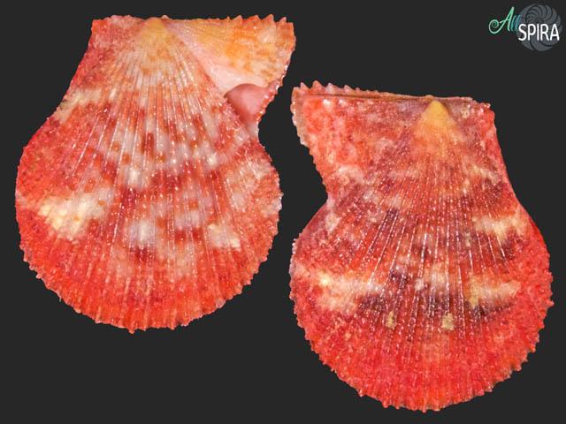 Spathochlamys vestalis - TOP RED