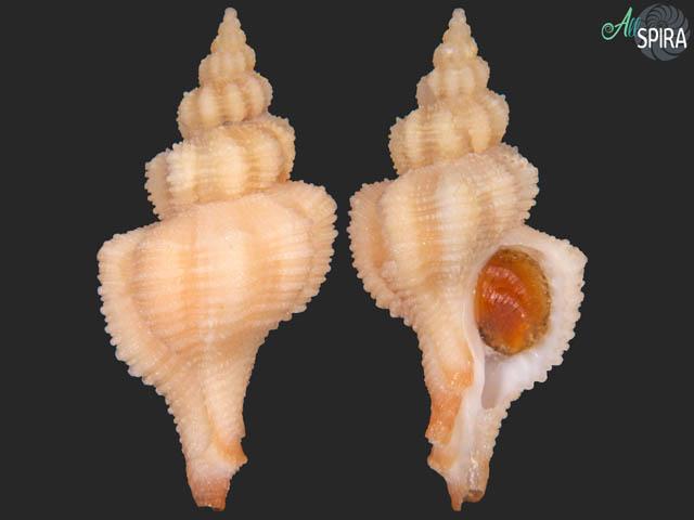 Hadriania craticulata