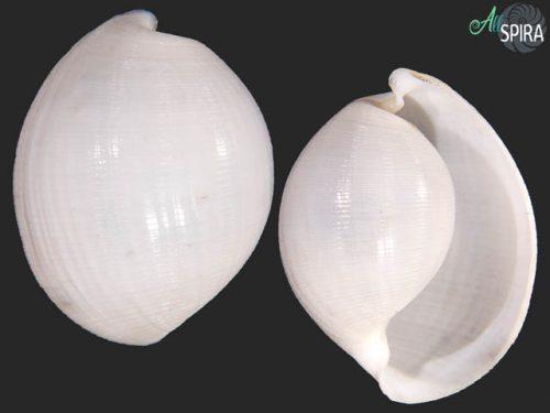 Haminoeidae