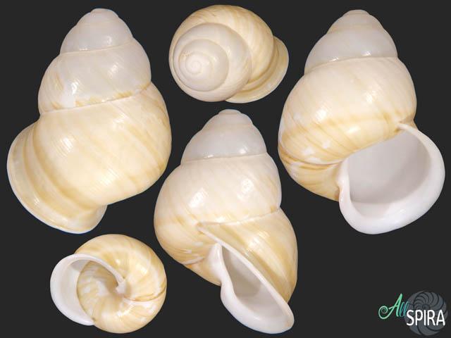 Helicostyla marinduquensis