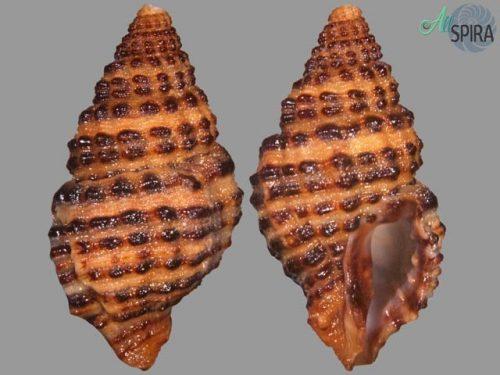 Trachypollia turricula