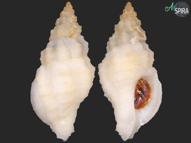 Orania fusulus