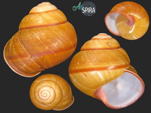 Helicobulinus sarcinosa turgens
