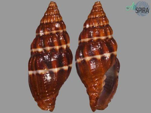 Vexillum albocinctum