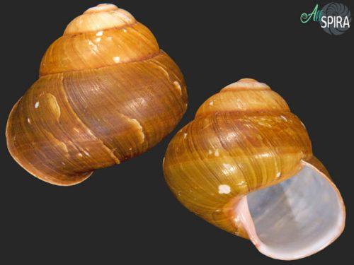 Helicobulinus sarcinosa sarcinosa