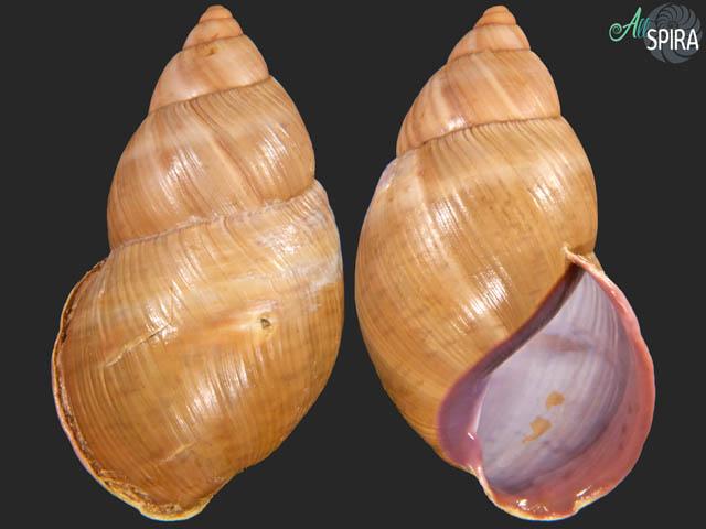 Porphyrobaphe sp