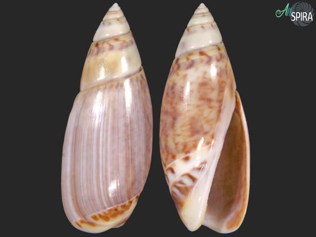 Olivella sphoni