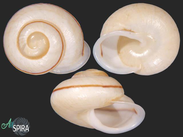 Megalacron novaegeorgiensis