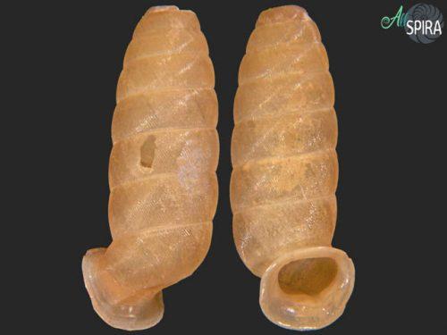 Urocoptis cylindrus