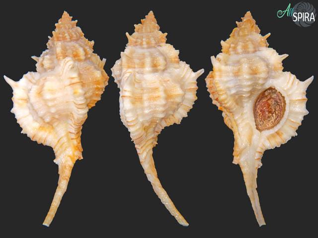 Siratus articulatus