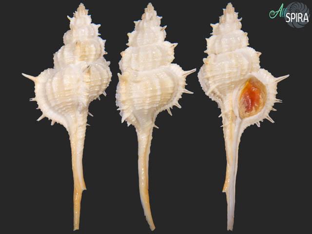 Siratus formosus