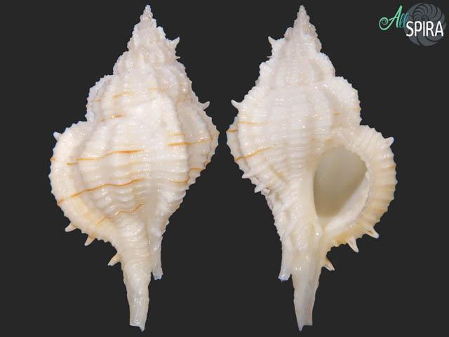 Siratus ciboney