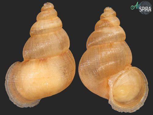 Chondrothyrium borroi