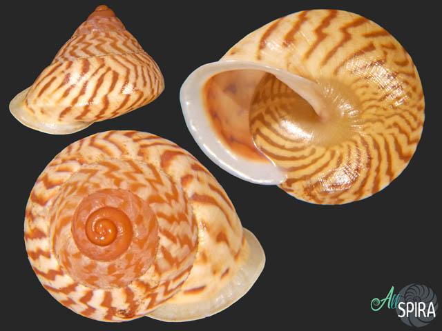Megalacron admiralitatis